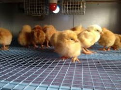 Chicken Hatchery